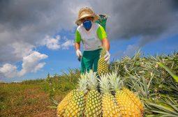Produção de Abacaxi