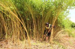Sistema Sepror impulsiona cultura de fibras naturais em Codajás e Manacapuru