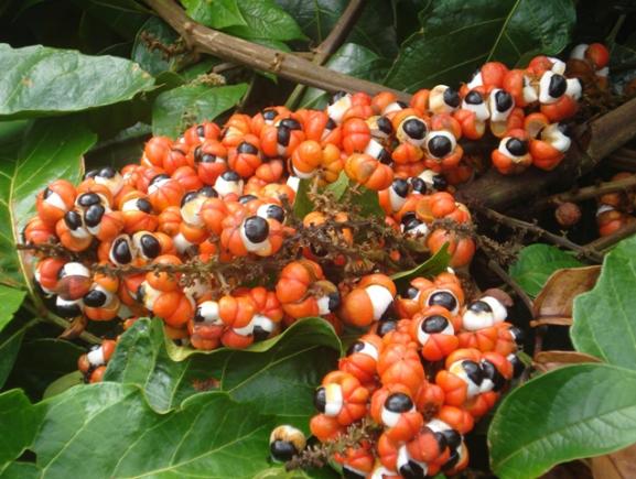 Idam apoia produtores de guaraná que buscam selo de Indicação Geográfica